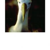 Albatross_Galapagos